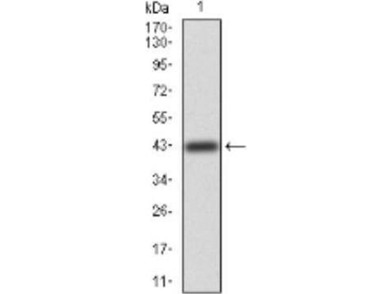 image for anti-ERBB4 antibody (V-Erb-A erythroblastic Leukemia Viral Oncogene Homolog 4 (Avian)) (ABIN4309326)
