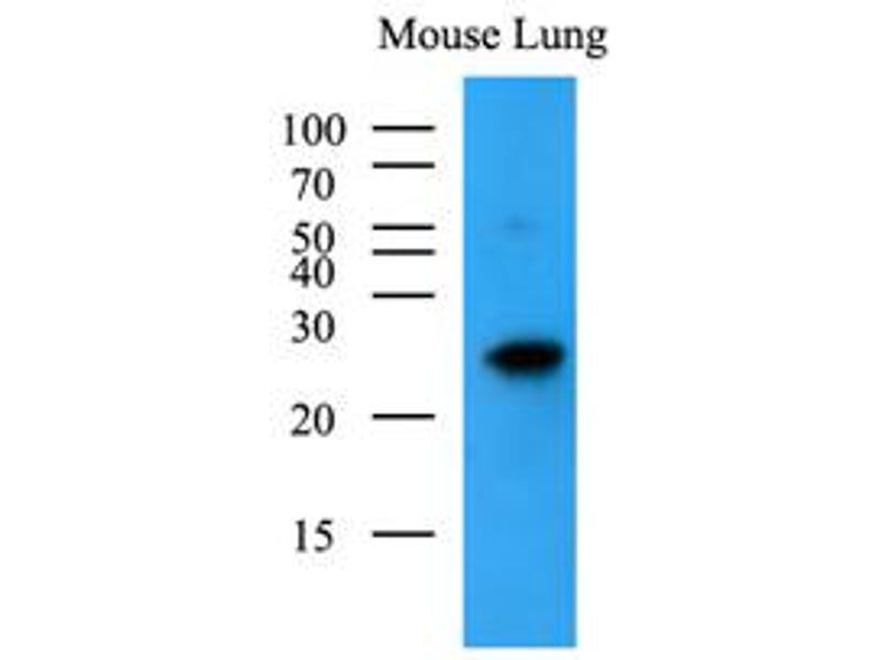 Western Blotting (WB) image for anti-BCL2-Antagonist/killer 1 (BAK1) (AA 29-187) antibody (ABIN492384)