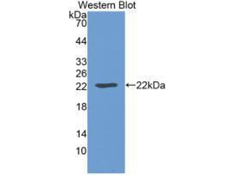 Western Blotting (WB) image for anti-Leptin (LEP) (AA 22-167) antibody (ABIN6002579)