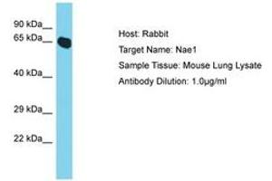 Image no. 1 for anti-NEDD8 Activating Enzyme E1 Subunit 1 (NAE1) (AA 308-357) antibody (ABIN6750418)