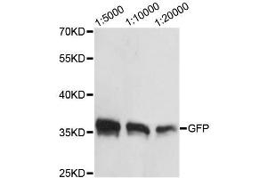 Image no. 1 for anti-Green Fluorescent Protein (GFP) antibody (ABIN3020573)
