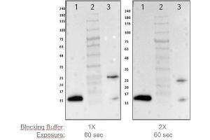 Image no. 1 for Blocking Buffer for Fluorescent Western Blotting (ABIN925618)