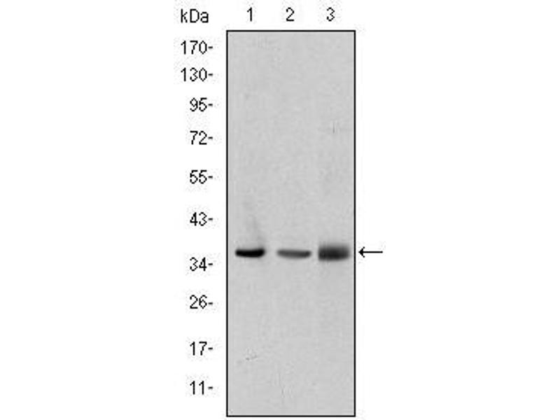 image for anti-LIM and Senescent Cell Antigen-Like Domains 1 (LIMS1) antibody (ABIN1500222)