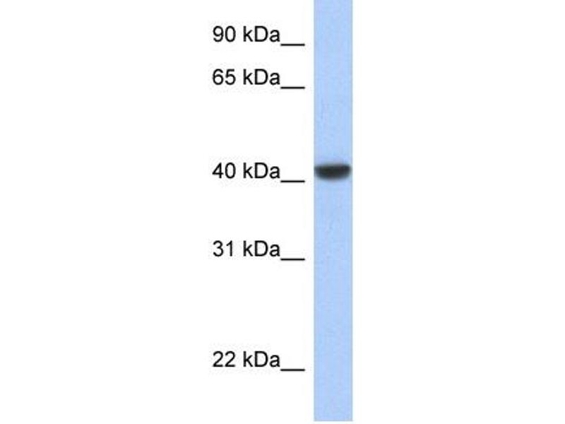 Western Blotting (WB) image for anti-C-JUN antibody (Jun Proto-Oncogene) (N-Term) (ABIN2792650)