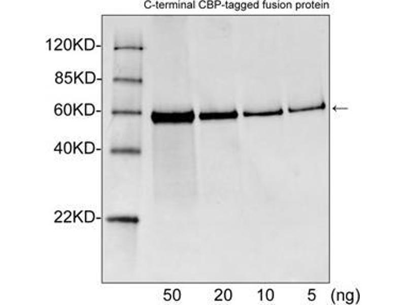 Western Blotting (WB) image for anti-CBP Tag antibody (ABIN398464)
