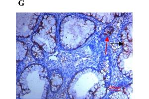 Image no. 10 for anti-Secreted Protein, Acidic, Cysteine-Rich (Osteonectin) (SPARC) (AA 120-160) antibody (ABIN738141)