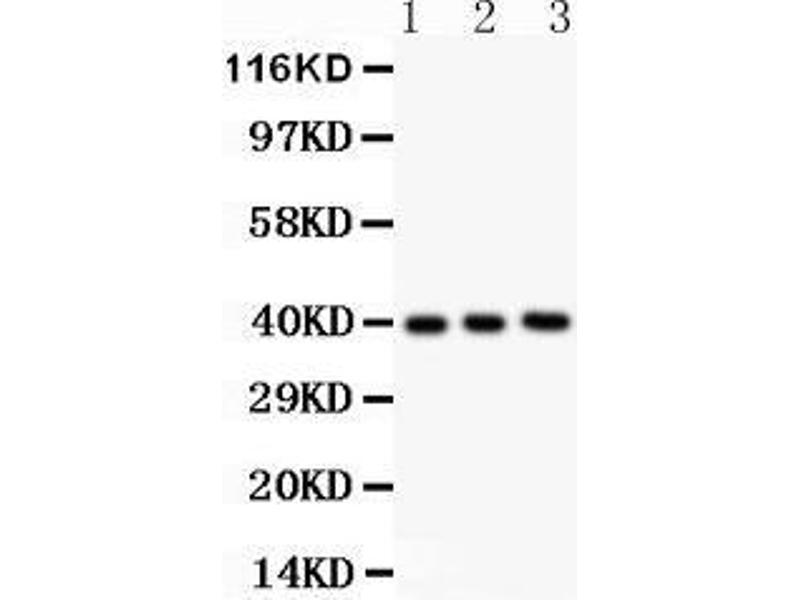 Western Blotting (WB) image for anti-Fetuin A antibody (alpha-2-HS-Glycoprotein) (AA 19-345) (ABIN3043533)