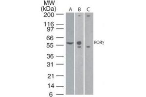 Image no. 1 for anti-RAR-Related Orphan Receptor C (RORC) (AA 1-50) antibody (ABIN959913)