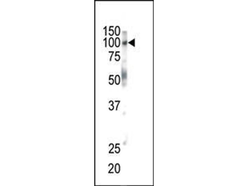 Western Blotting (WB) image for anti-EPH Receptor B1 antibody (EPHB1) (C-Term) (ABIN2160959)