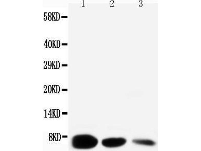 Western Blotting (WB) image for anti-Epidermal Growth Factor (EGF) (AA 1013-1029), (C-Term) antibody (ABIN3042717)