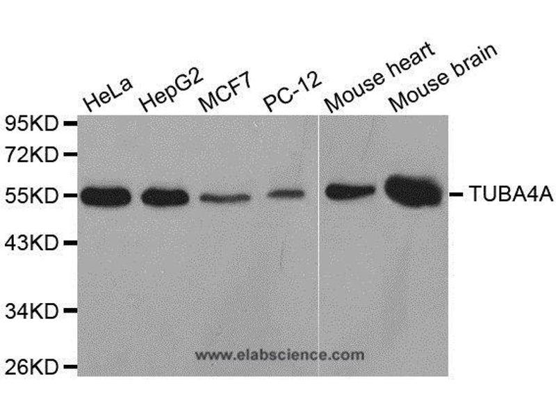 Western Blotting (WB) image for anti-TUBA4A antibody (Tubulin, alpha 4a) (ABIN2405944)