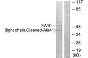 Image no. 1 for anti-Coagulation Factor X (F10) (AA 22-71), (Cleaved-Ala41) antibody (ABIN1536116)