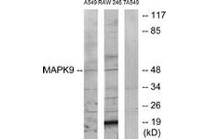 Western Blotting (WB) image for anti-MAPK9 antibody (Mitogen-Activated Protein Kinase 9) (ABIN1534420)
