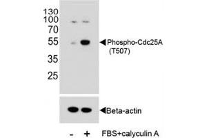 Image no. 2 for anti-Cell Division Cycle 25 Homolog A (S. Pombe) (CDC25A) (pThr507) antibody (ABIN3030450)