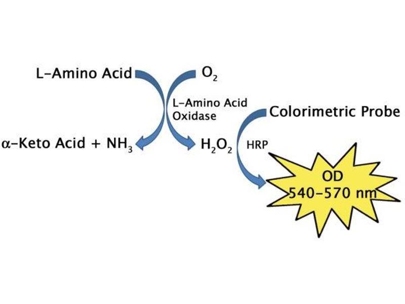 image for L-Amino Acid Assay Kit (Colorimetric) (ABIN5067586)