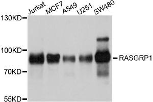 Image no. 1 for anti-RAS Guanyl Releasing Protein 1 (Calcium and DAG-Regulated) (RASGRP1) antibody (ABIN6566956)