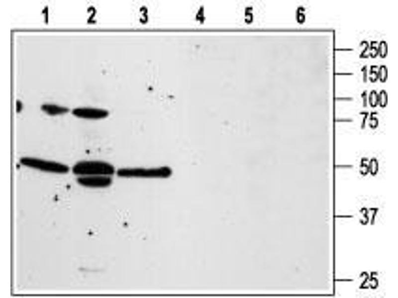 Western Blotting (WB) image for anti-Coagulation Factor II (Thrombin) Receptor-Like 3 (F2RL3) (1st Extracellular Loop), (AA 136-150), (Cys149Ser-Mutant) antibody (ABIN1742017)