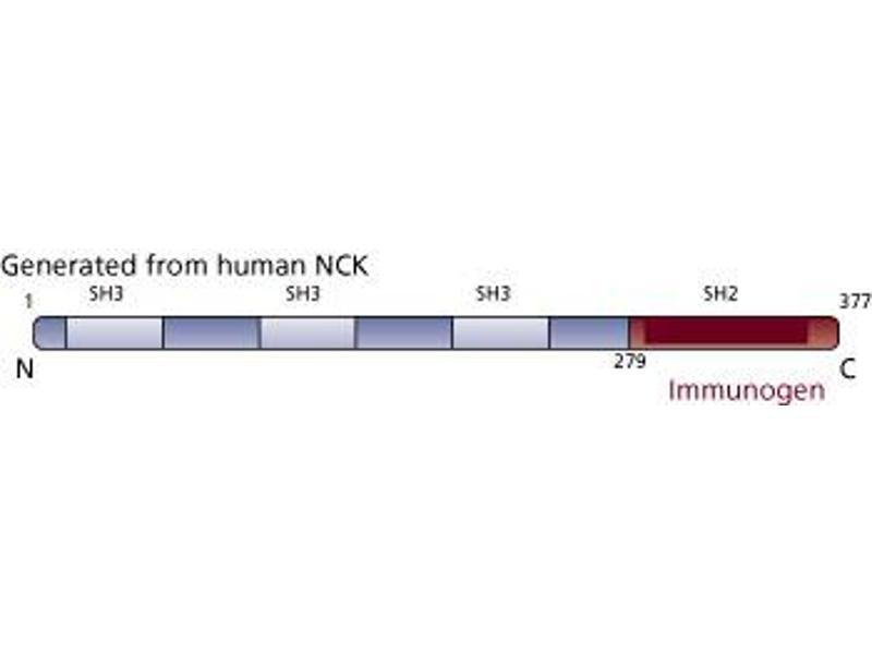 image for anti-NCK Adaptor Protein 1 (NCK1) (AA 279-377) antibody (ABIN967744)