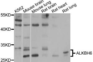 Image no. 2 for anti-AlkB, Alkylation Repair Homolog 6 (E. Coli) (ALKBH6) antibody (ABIN4902898)