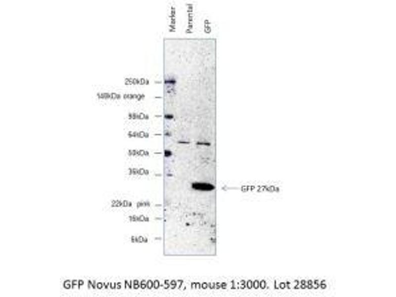 Western Blotting (WB) image for anti-GFP antibody (Green Fluorescent Protein) (ABIN153484)
