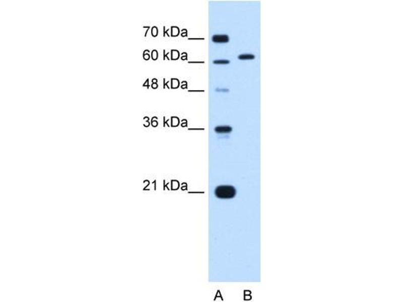 Western Blotting (WB) image for anti-Lamin B2 (LMNB2) (N-Term) antibody (ABIN2782594)