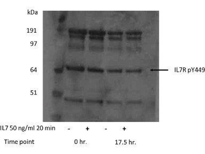 Western Blotting (WB) image for anti-Interleukin 7 Receptor (IL7R) (pTyr449) antibody (ABIN259910)