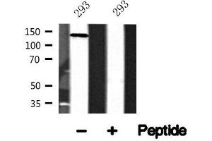 Image no. 1 for anti-WW and C2 Domain Containing 1 (WWC1) antibody (ABIN6268258)