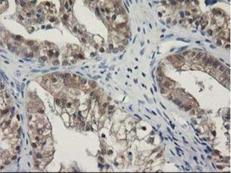 Immunohistochemistry (Paraffin-embedded Sections) (IHC (p)) image for anti-Sepiapterin Reductase (SPR) antibody (ABIN4355738)