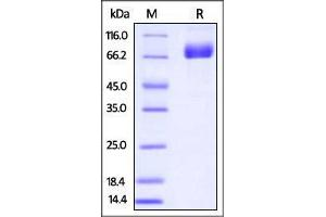 Image no. 1 for CD274 Molecule (CD274) (AA 19-238) (Active) protein (Fc Tag,AVI tag,Biotin) (ABIN2870578)