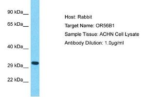 Image no. 1 for anti-Olfactory Receptor, Family 56, Subfamily B, Member 1 (OR56B1) (Middle Region) antibody (ABIN2791839)