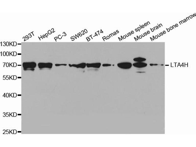 Image no. 1 for anti-Leukotriene A4 Hydrolase (LTA4H) antibody (ABIN6569237)