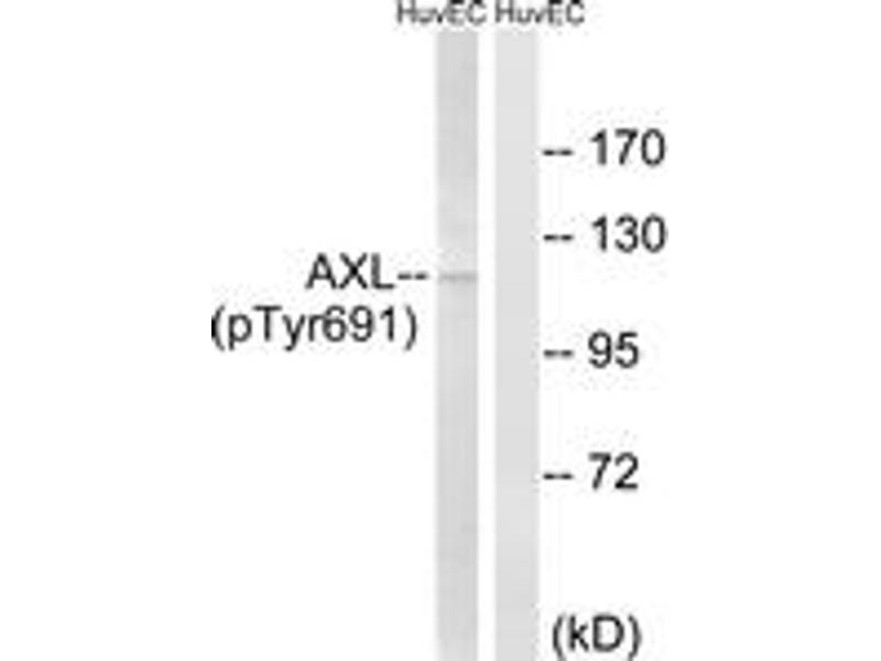Western Blotting (WB) image for anti-AXL Receptor tyrosine Kinase (AXL) (AA 657-706), (pTyr691) antibody (ABIN1532036)