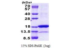 Image no. 1 for Proline Rich Nuclear Receptor Coactivator 2 (PNRC2) (AA 1-139) protein (His tag) (ABIN5853060)