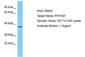 Image no. 1 for anti-Phytanoyl-CoA Dioxygenase Domain Containing 1 (PHYHD1) (C-Term) antibody (ABIN2791853)