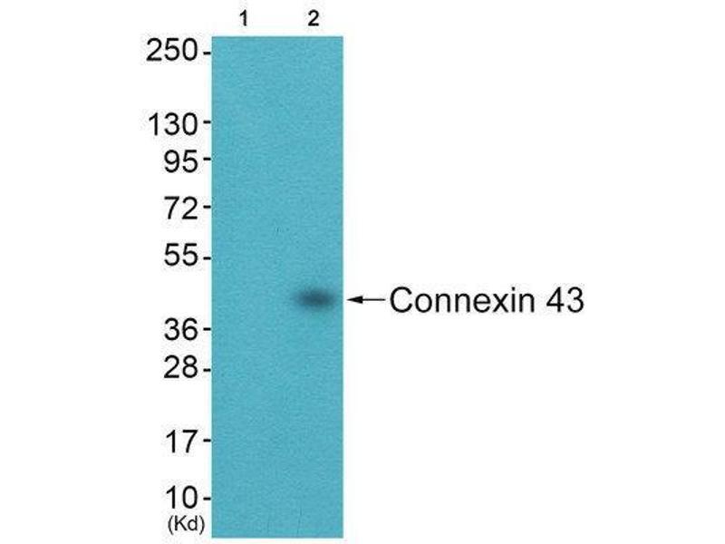 Western Blotting (WB) image for anti-Gap Junction Protein, alpha 1, 43kDa (GJA1) (C-Term) antibody (ABIN1848480)