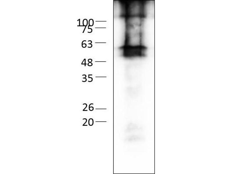 Western Blotting (WB) image for Gap Junction Protein, gamma 2, 47kDa (GJC2) (AA 1-439) protein (rho-1D4 tag) (ABIN3078600)