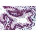 anti-MUC13 anticorps (Mucin 13, Cell Surface Associated) (Extracellular Domain)