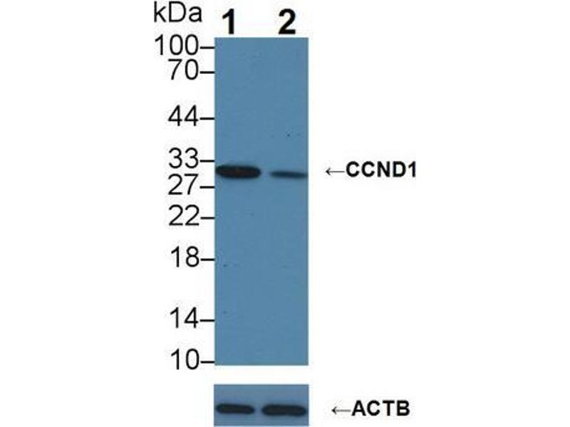 Western Blotting (WB) image for anti-Cyclin D1 (CCND1) (AA 1-295) antibody (ABIN2897694)