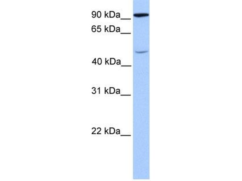 Western Blotting (WB) image for anti-STAT5B antibody (Signal Transducer and Activator of Transcription 5B) (C-Term) (ABIN2780885)