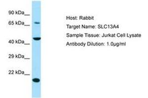 Image no. 1 for anti-Solute Carrier Family 13 Member 4 (SLC13A4) (AA 220-269) antibody (ABIN6750023)