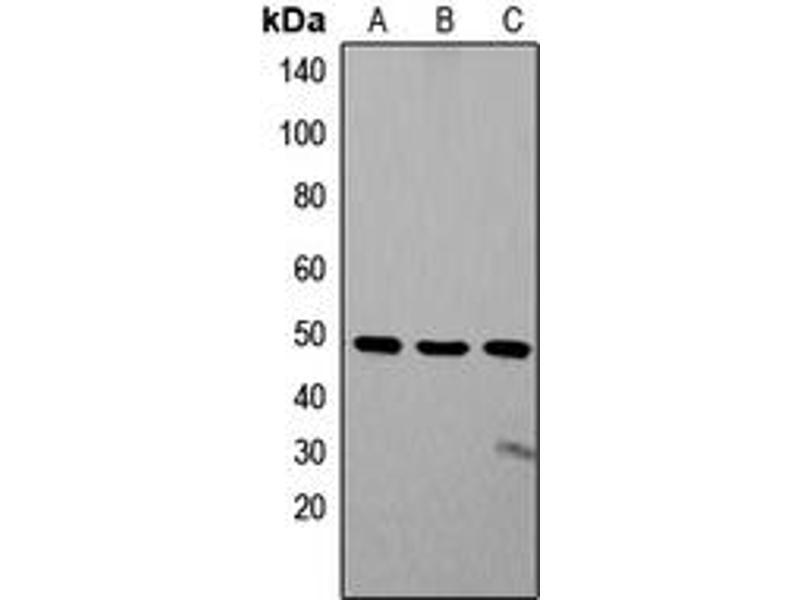 Image no. 3 for anti-Zic Family Member 1/2/3/4/5 (Zic1/2/3/4/5) (Center) antibody (ABIN2707268)