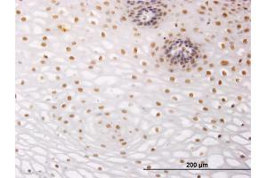 Image no. 2 for anti-Nuclear Receptor Subfamily 2, Group C, Member 2 (NR2C2) (AA 43-152) antibody (ABIN563251)