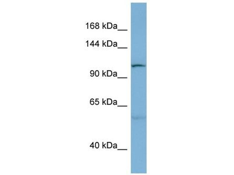 Western Blotting (WB) image for anti-DnaJ (Hsp40) Homolog, Subfamily C, Member 10 (DNAJC10) (N-Term) antibody (ABIN503035)