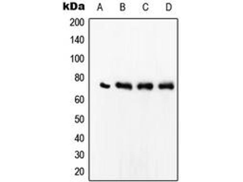 Image no. 2 for anti-SRF (Center) antibody (ABIN2707098)