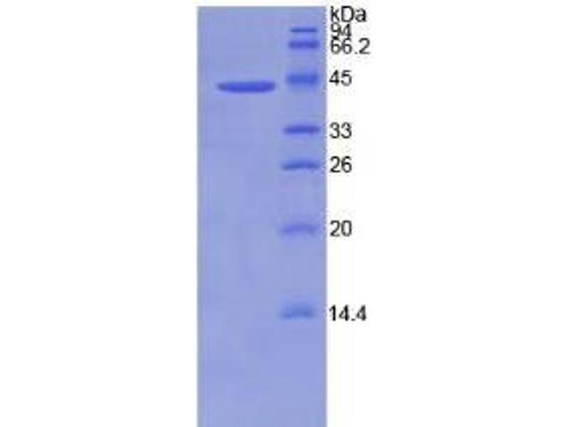 SDS-PAGE (SDS) image for Bone Morphogenetic Protein 2 (BMP2) ELISA Kit (ABIN6720476)