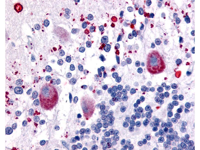 Immunohistochemistry (IHC) image for anti-5-Hydroxytryptamine (serotonin) Receptor 7 (Adenylate Cyclase-Coupled) (HTR7) (C-Term) antibody (ABIN213559)