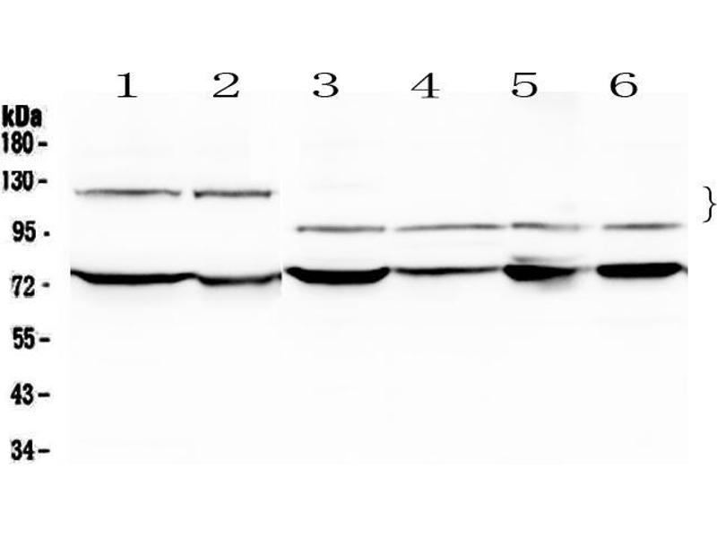 Western Blotting (WB) image for anti-Nuclear Factor of Activated T-Cells, Cytoplasmic, Calcineurin-Dependent 4 (NFATC4) (AA 413-522) antibody (ABIN5519046)