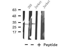 Image no. 1 for anti-Potassium Channel, Subfamily K, Member 7 (KCNK7) antibody (ABIN6257301)