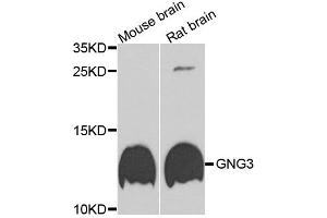Image no. 1 for anti-Guanine Nucleotide Binding Protein (G Protein), gamma 3 (GNG3) antibody (ABIN6572026)