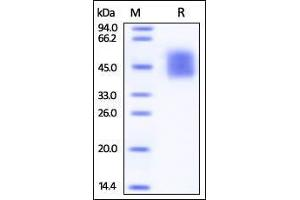 Image no. 2 for CD226 Molecule (CD226) (AA 19-247) (Active) protein (His tag) (ABIN2870815)
